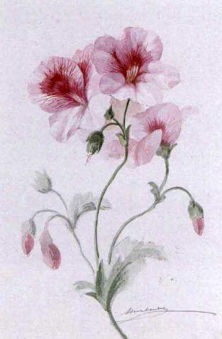 File estudio de la flor del geranio josep mirabent gatell - Geranio de pensamiento ...