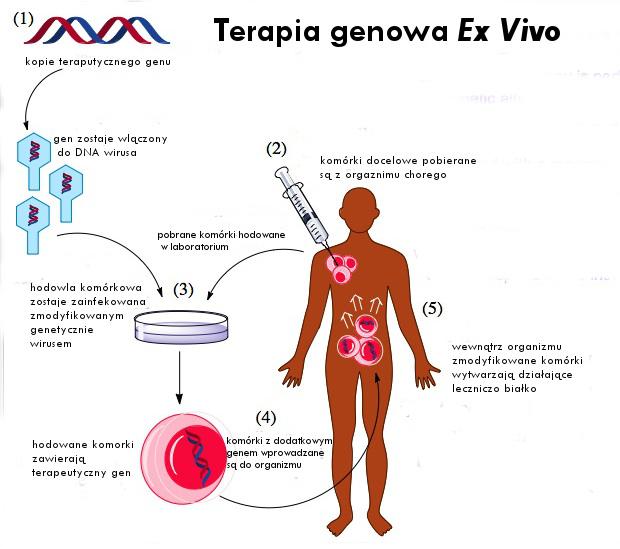File:ExVivoGeneTherapy pl.jpg
