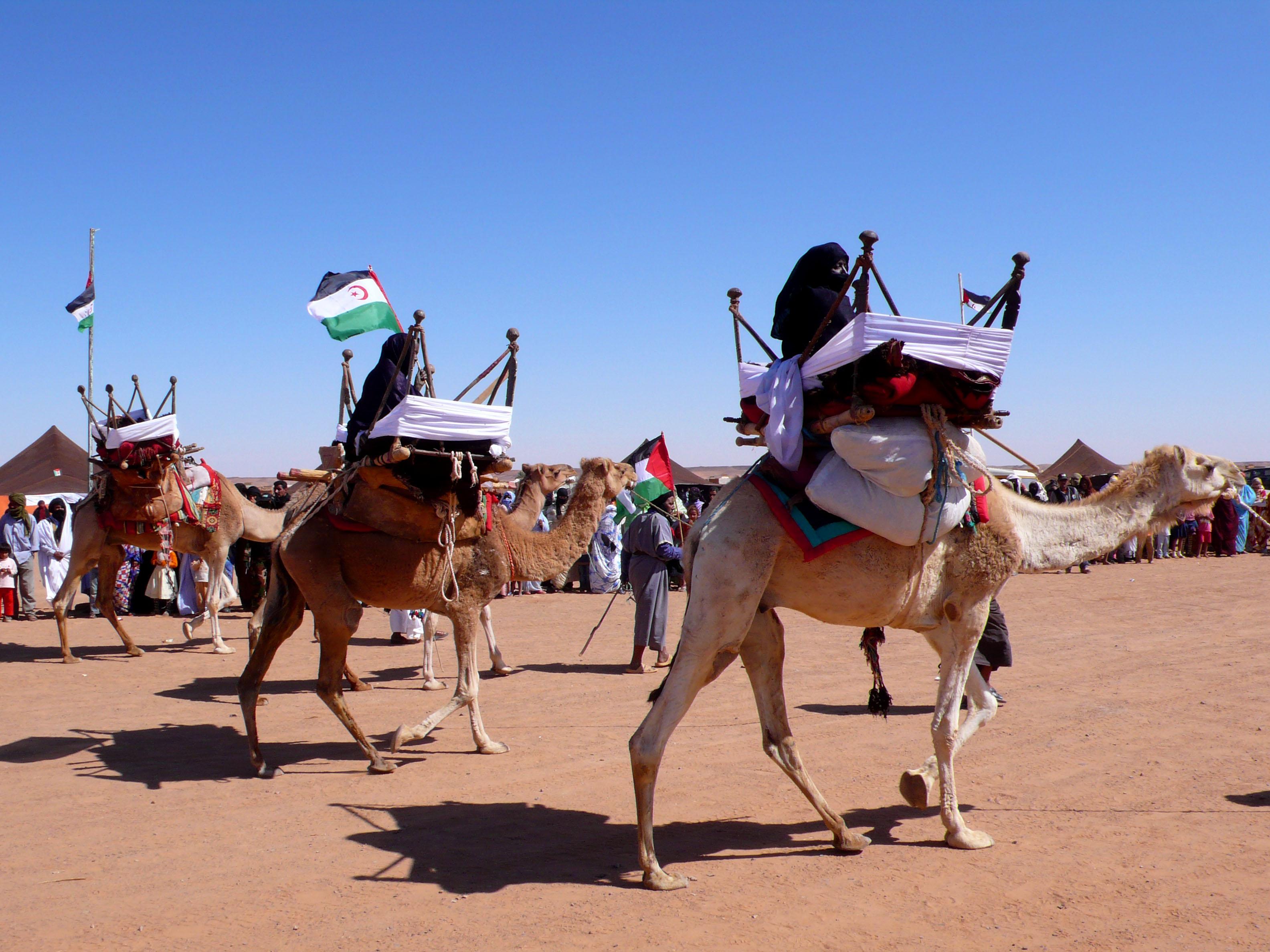 Archivo Exhibicion De Camellos En La Wilaya De Dajla Campamentos De Refugiados Saharauis De Tinduf Abril De 2007 Jpg Wikipedia La Enciclopedia Libre