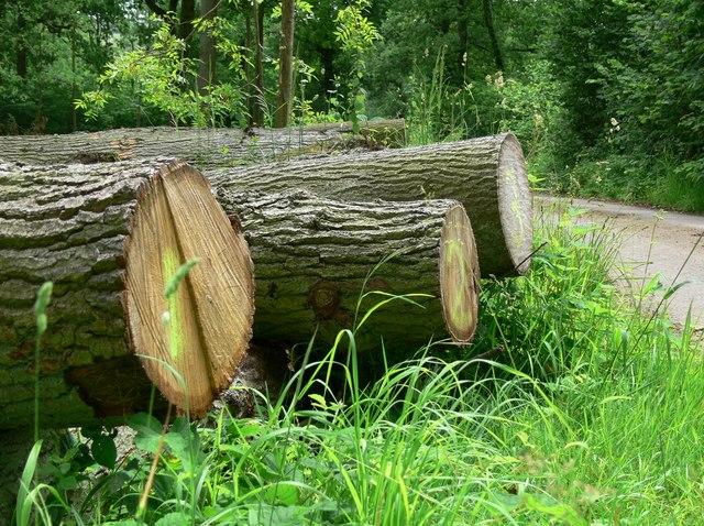 File:Felled trees in Skeffington Wood - geograph.org.uk - 885584.jpg