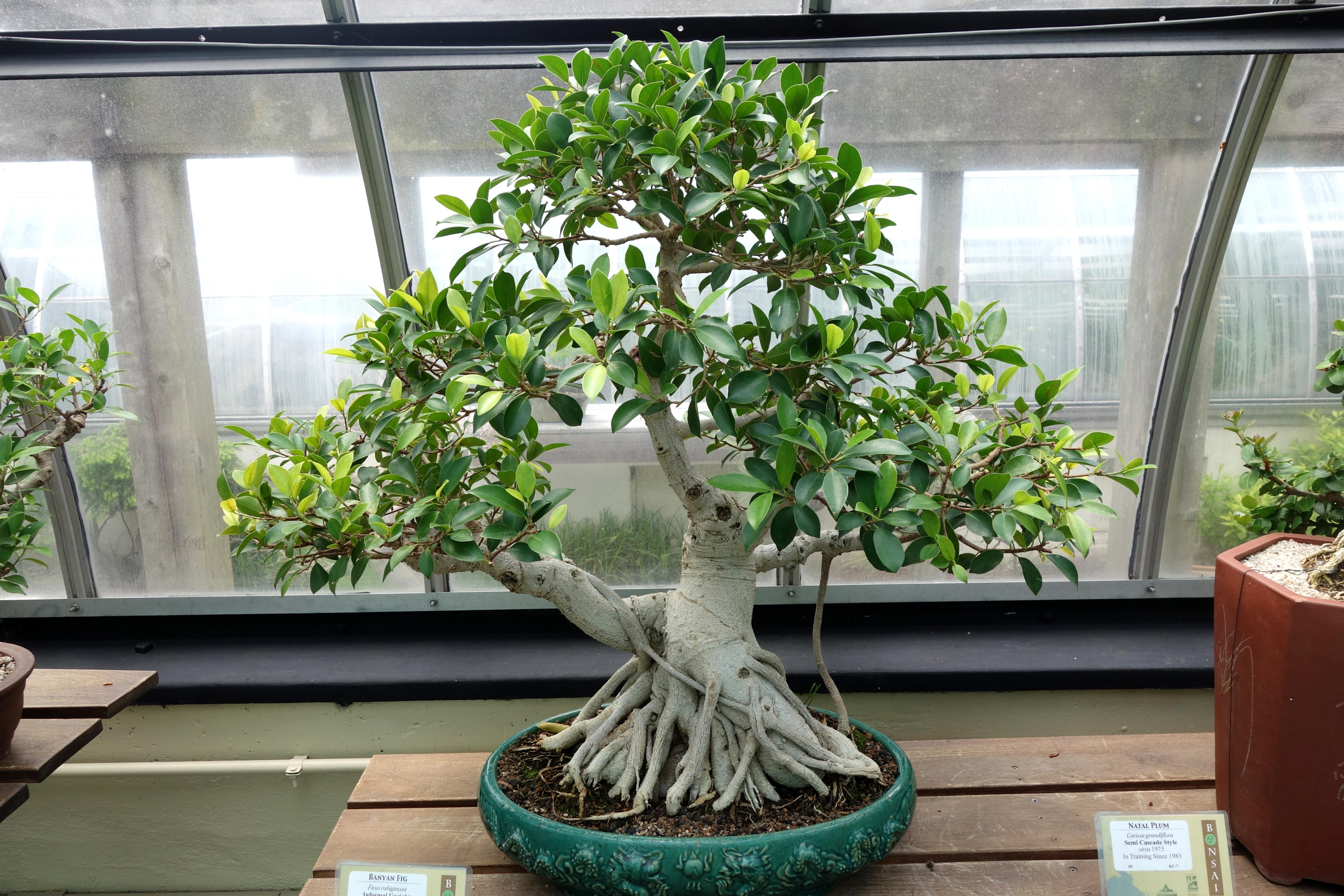 file ficus rubiginosa bonsai krohn conservatory dsc03582 jpg wikimedia commons. Black Bedroom Furniture Sets. Home Design Ideas