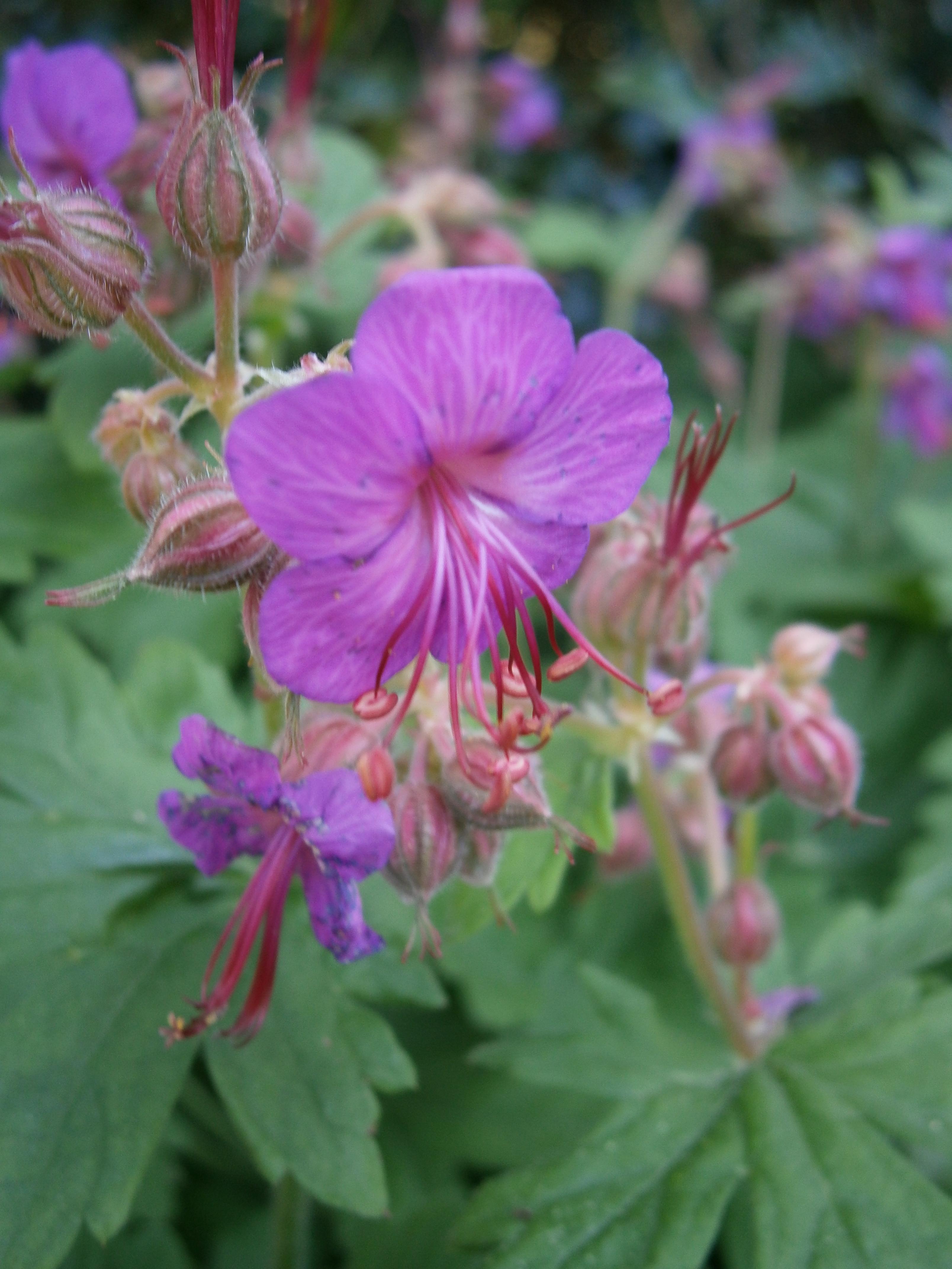 4 graines de geranium vivace carmin geranium macrorrhizum - Graine de geranium ...