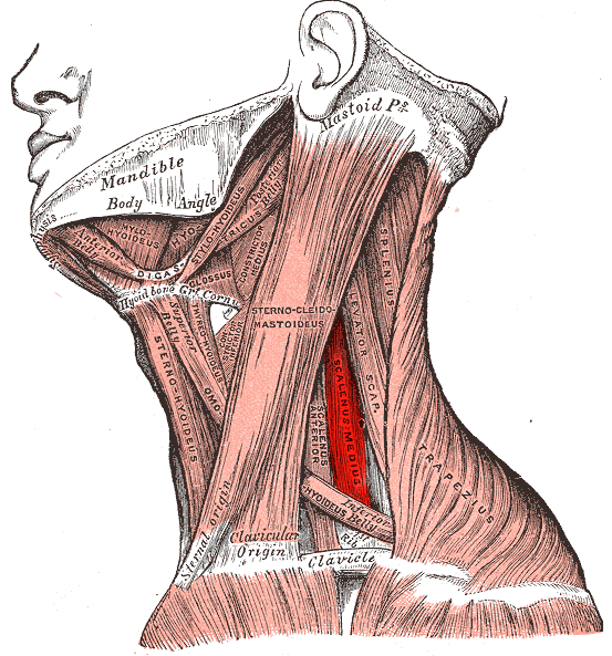 Scalene Muscles Model 2018 Images Pictures Neck Anatomy E Lab