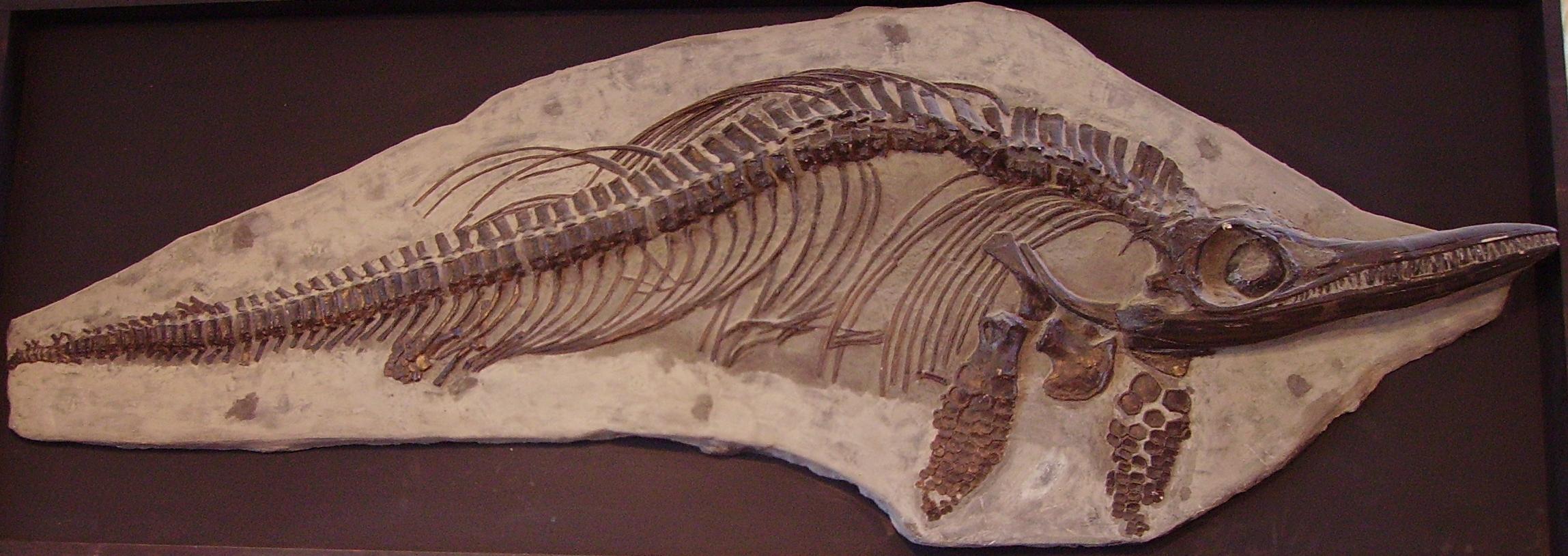 Ichthyosaur sp 22