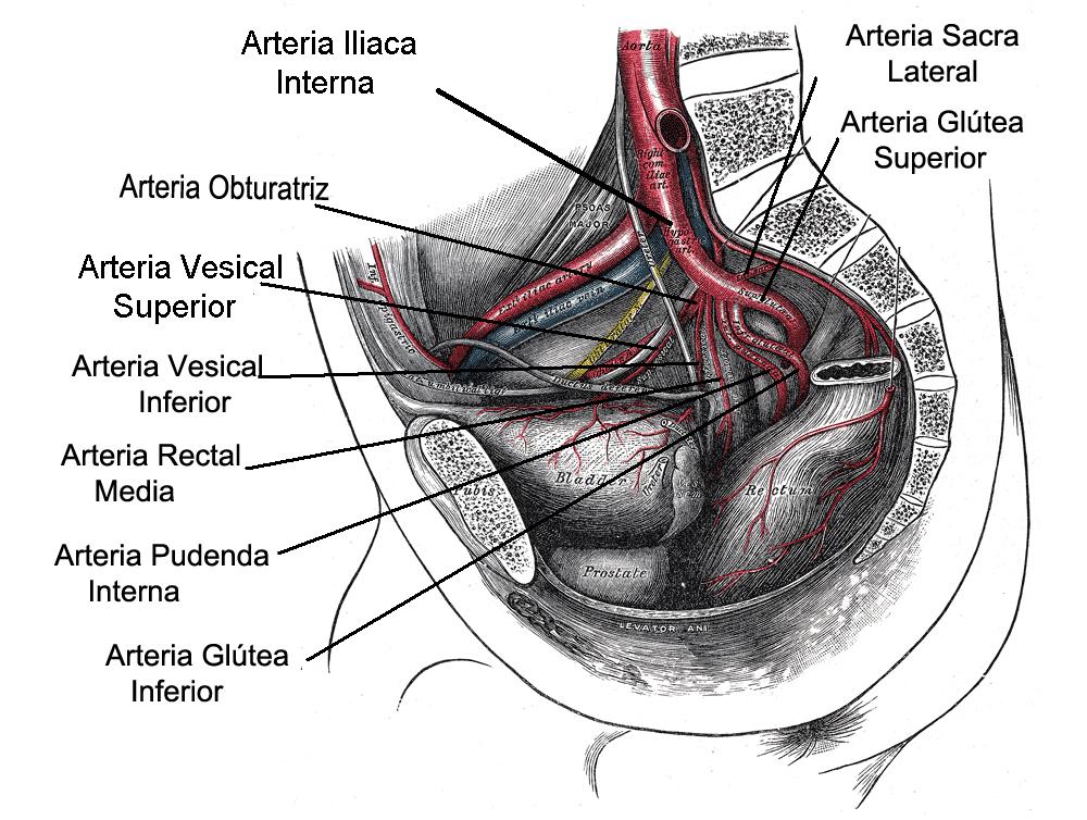 Arterias vesicales superiores - Wikipedia, la enciclopedia libre