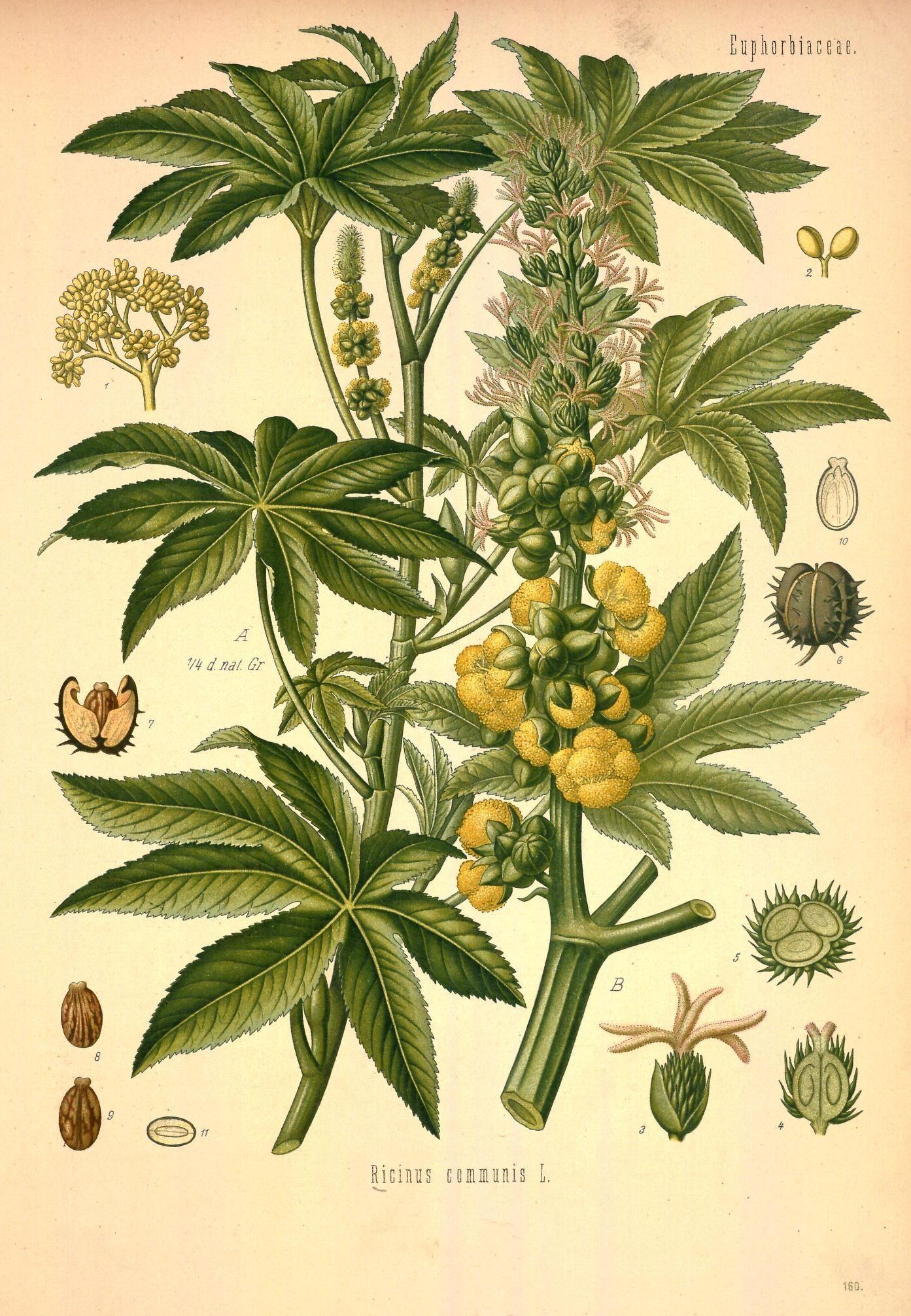 Köhler's Medizinal-Pflanzen in naturgetreuen Abbildungen mit kurz erläuterndem Texte (Plate 160) (8232808238).jpg