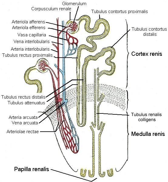 Nephron – Wikipedia
