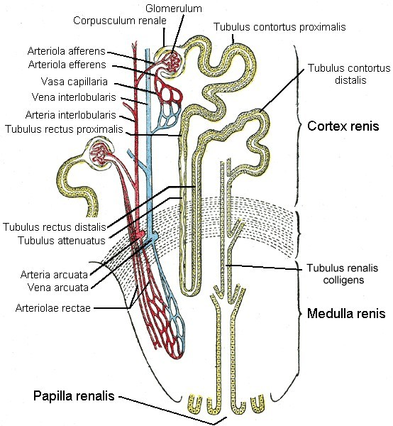 Nierenkörperchen – Wikipedia