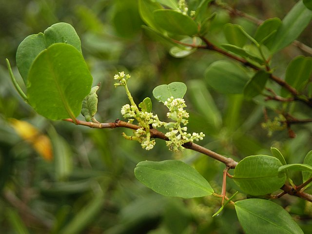 Laguncularia racemosa  Wikipedia