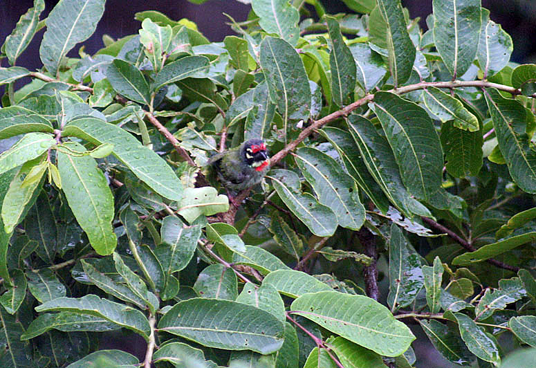 चित्र:Leaves with bathing Coppersmith Barbet I IMG 4465.jpg
