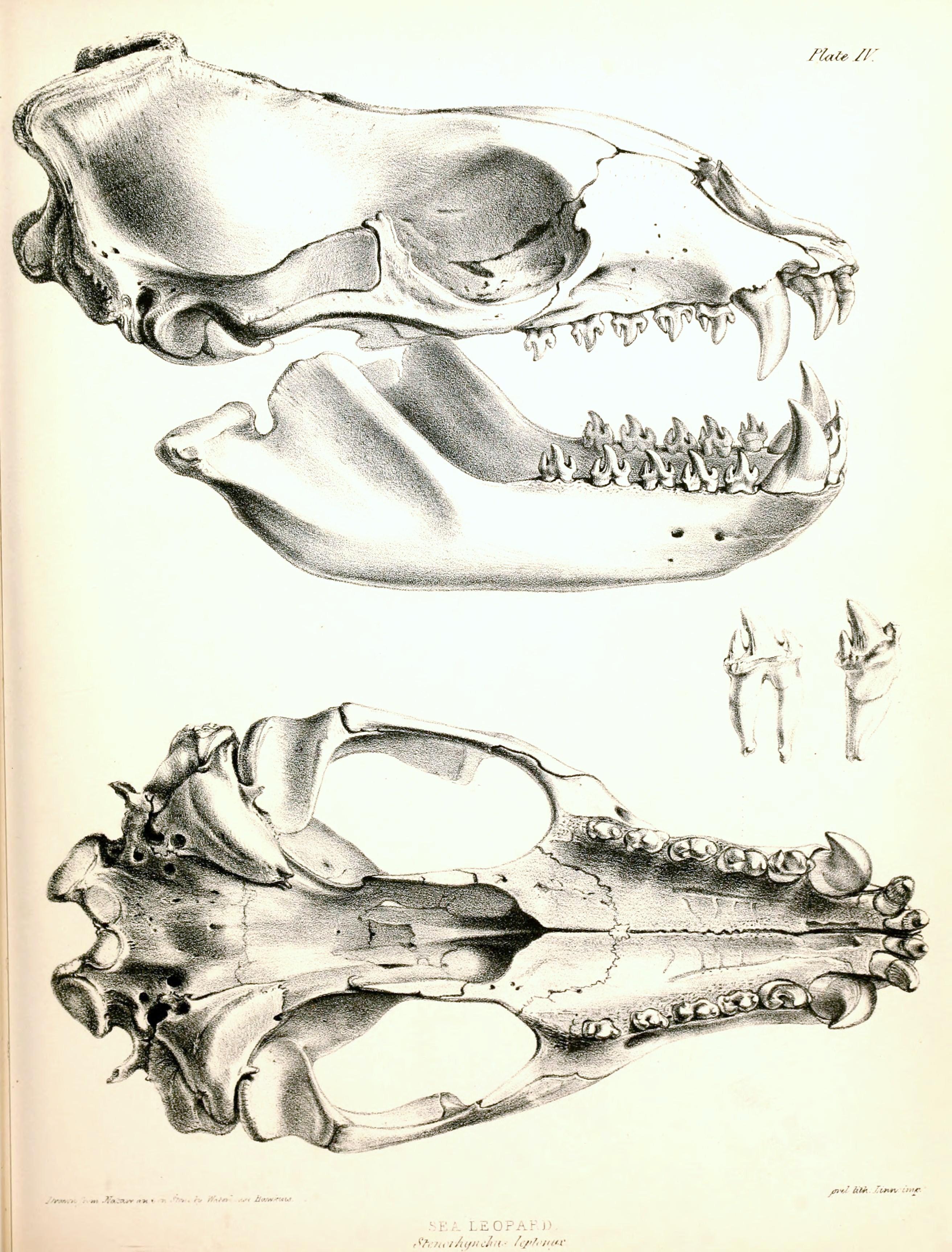 http://upload.wikimedia.org/wikipedia/commons/8/8a/Leopard_Seal_skull_1844.jpg