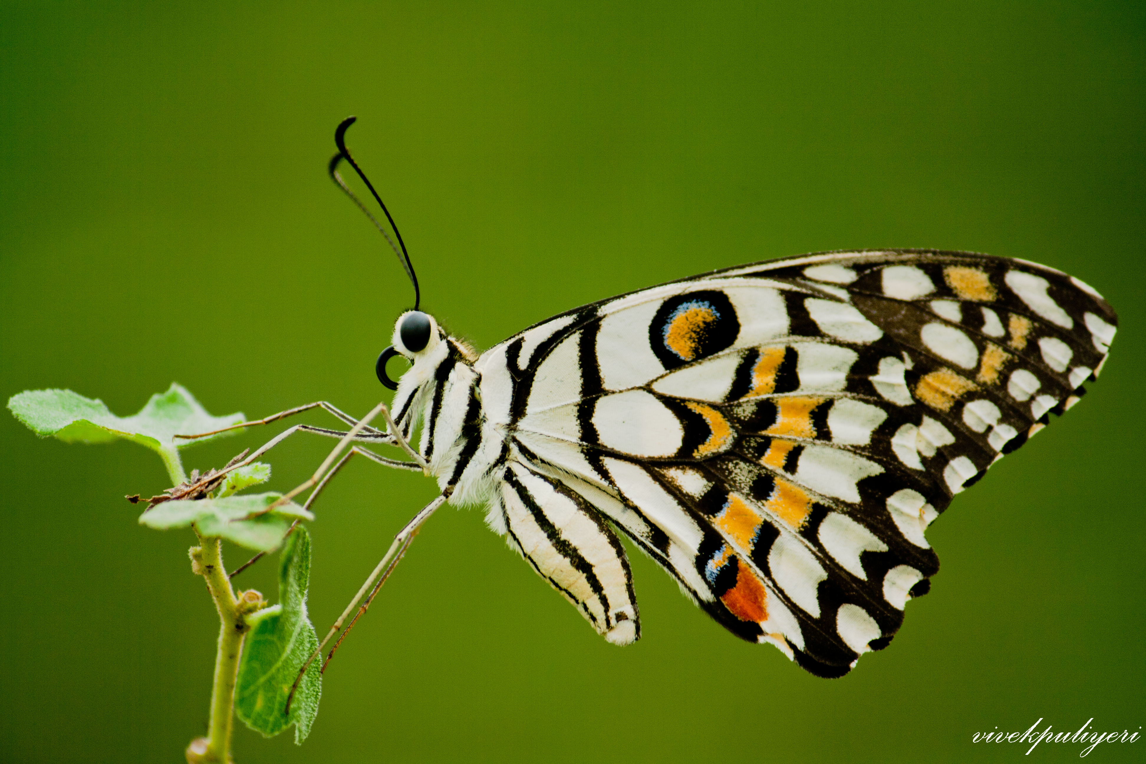 File:Lime Butterfly - ...