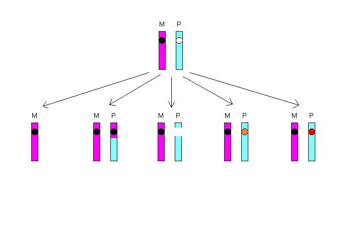 File loss of heterozygosity png wikimedia commons