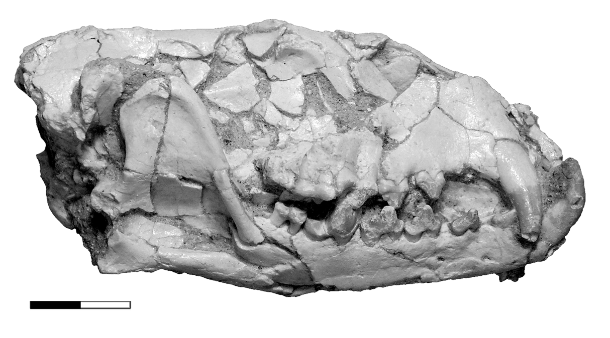 https://upload.wikimedia.org/wikipedia/commons/8/8a/Lycophocyon_skull_lateral.png