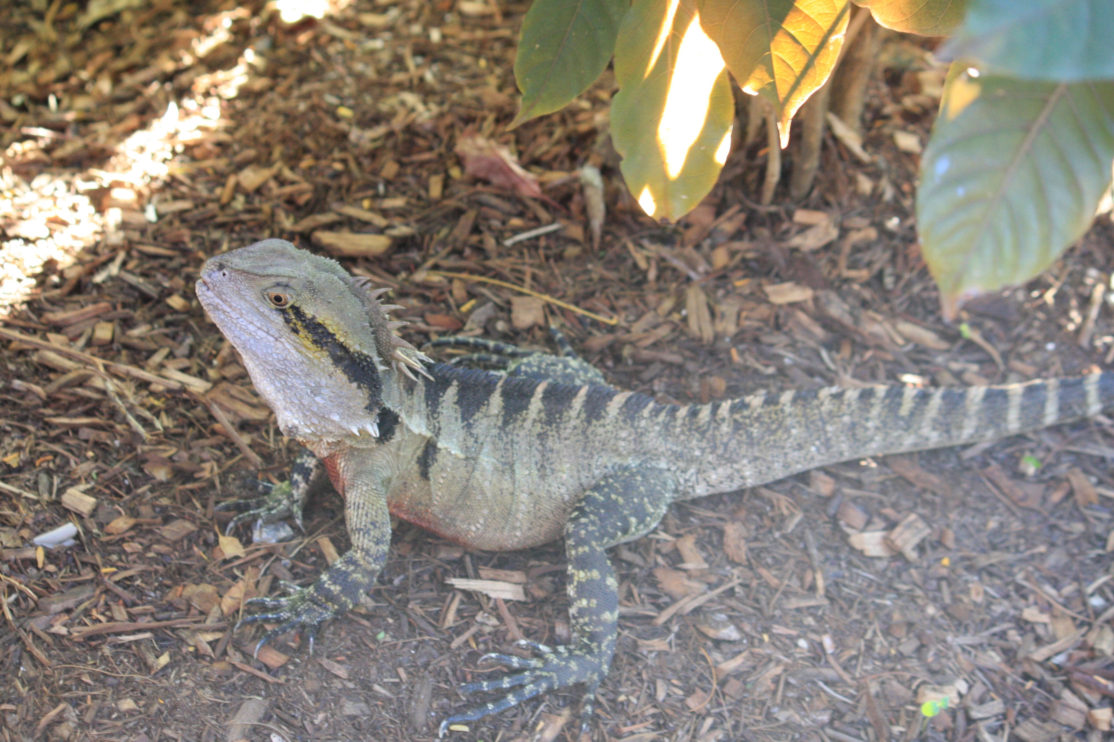 Male Eastern Water Dragon File:male Eastern Water Dragon
