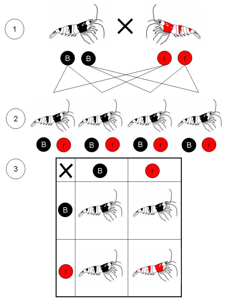 taiwan bee shrimp breeding guide