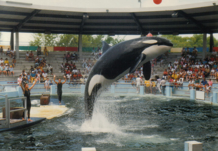 Lolita the killer whale performing