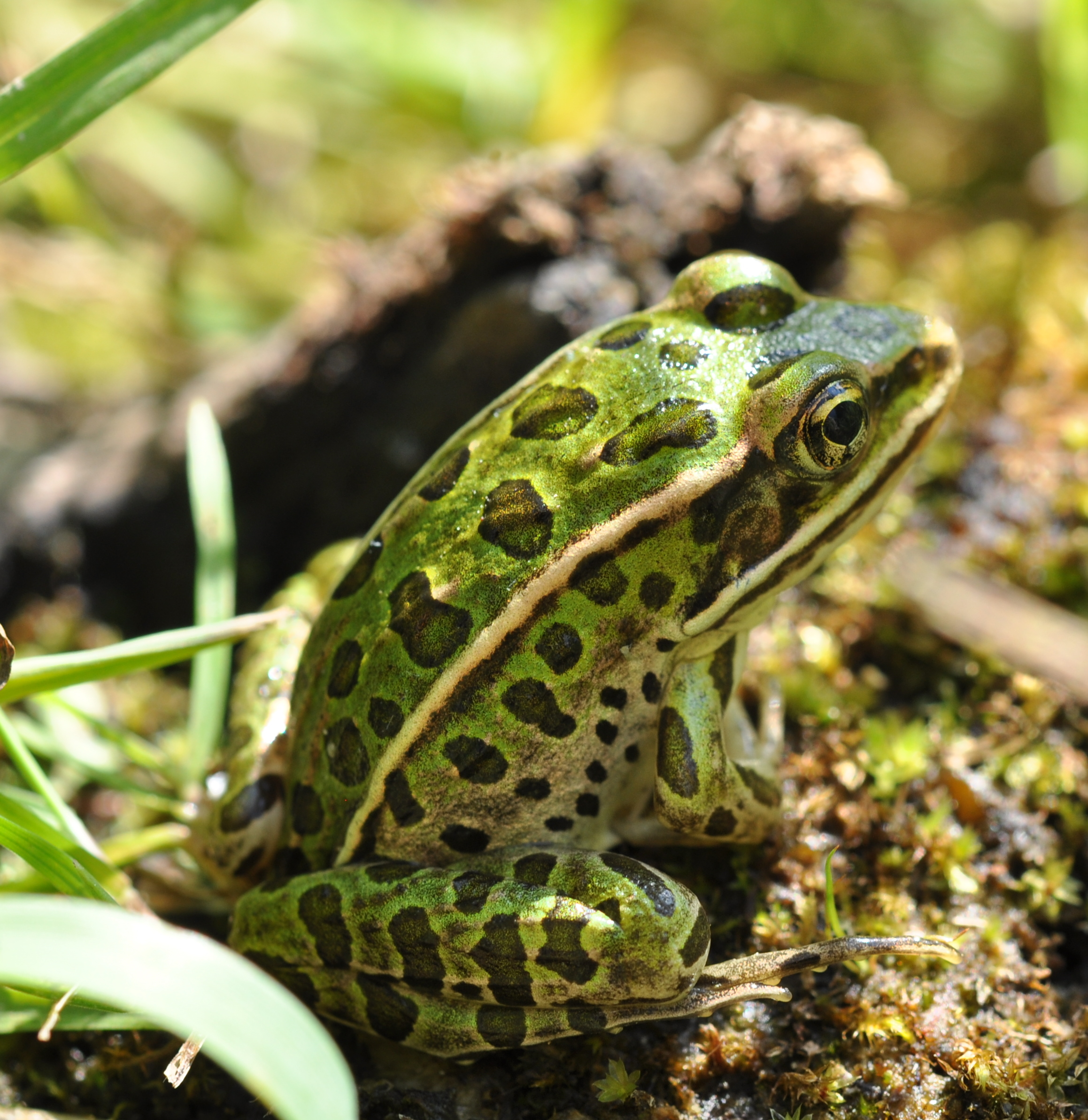 Taiga forest : Northern leopard frog