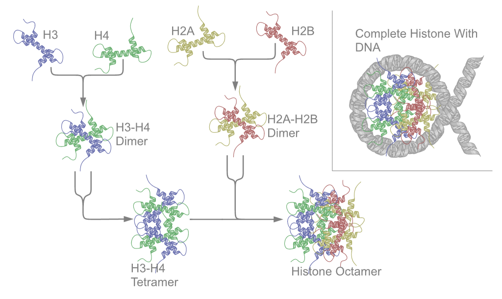 relationship between histones and nucleosomes structure