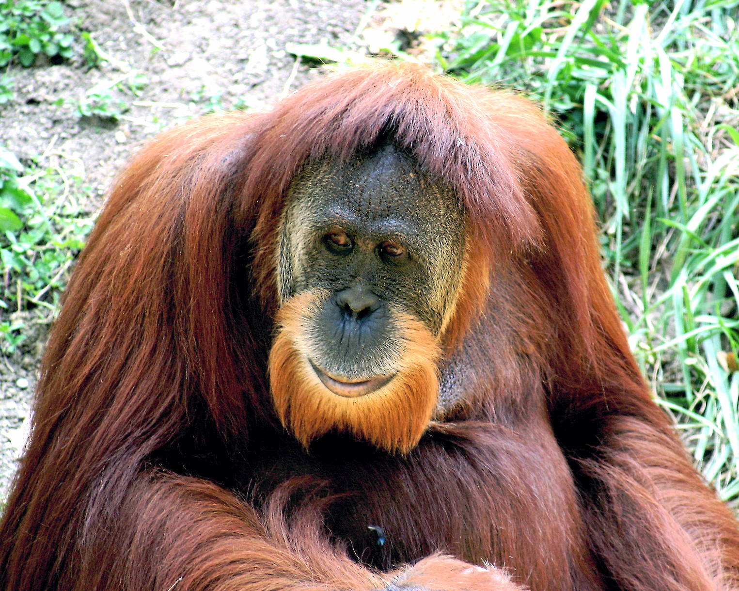 Description Orangutan 01.jpg