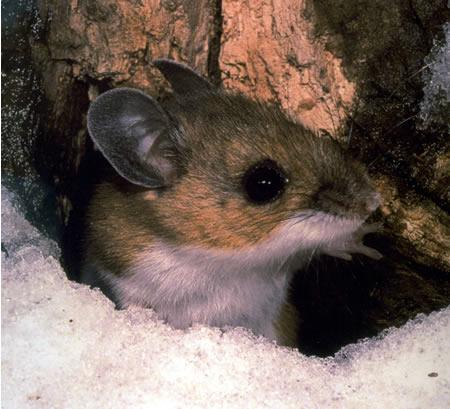 A forma da toca desse roedor é determinada geneticamente. Fonte: wikimidia.org