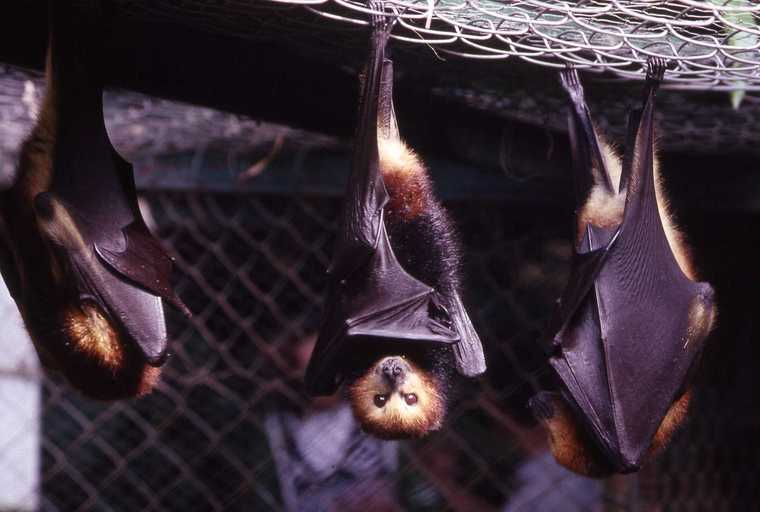 Mauritian Flying Fox Wikipedia