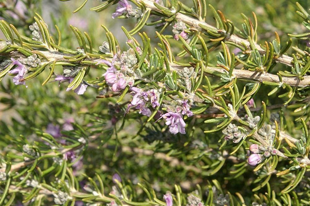 Picture of Live Collingwood Ingram Rosemary aka Rosmarinus 'Collingwood Ingram Plant Fit 1 Gallon Pot