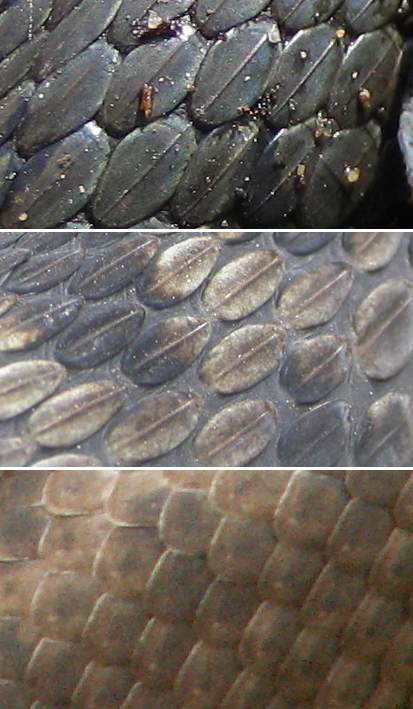 File:Scales grass snake (top), adder & smooth snake (bottom