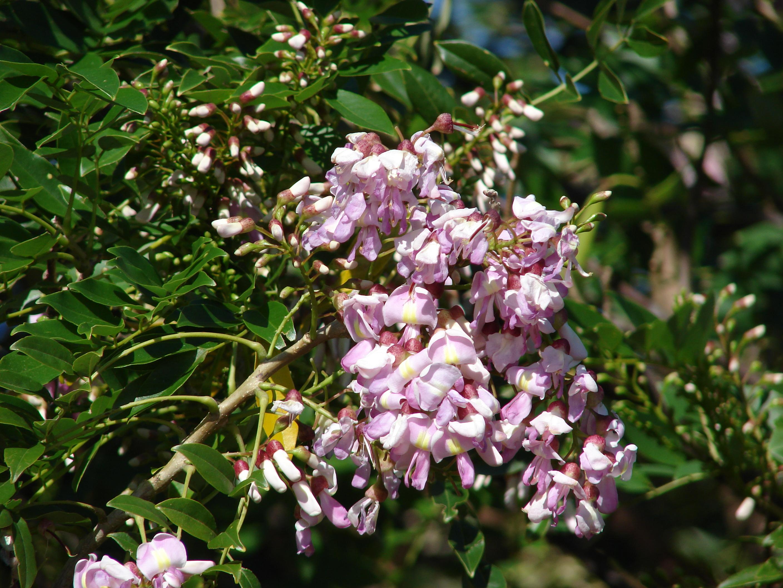 Gliricidia sepium – the quintessential agroforestry species
