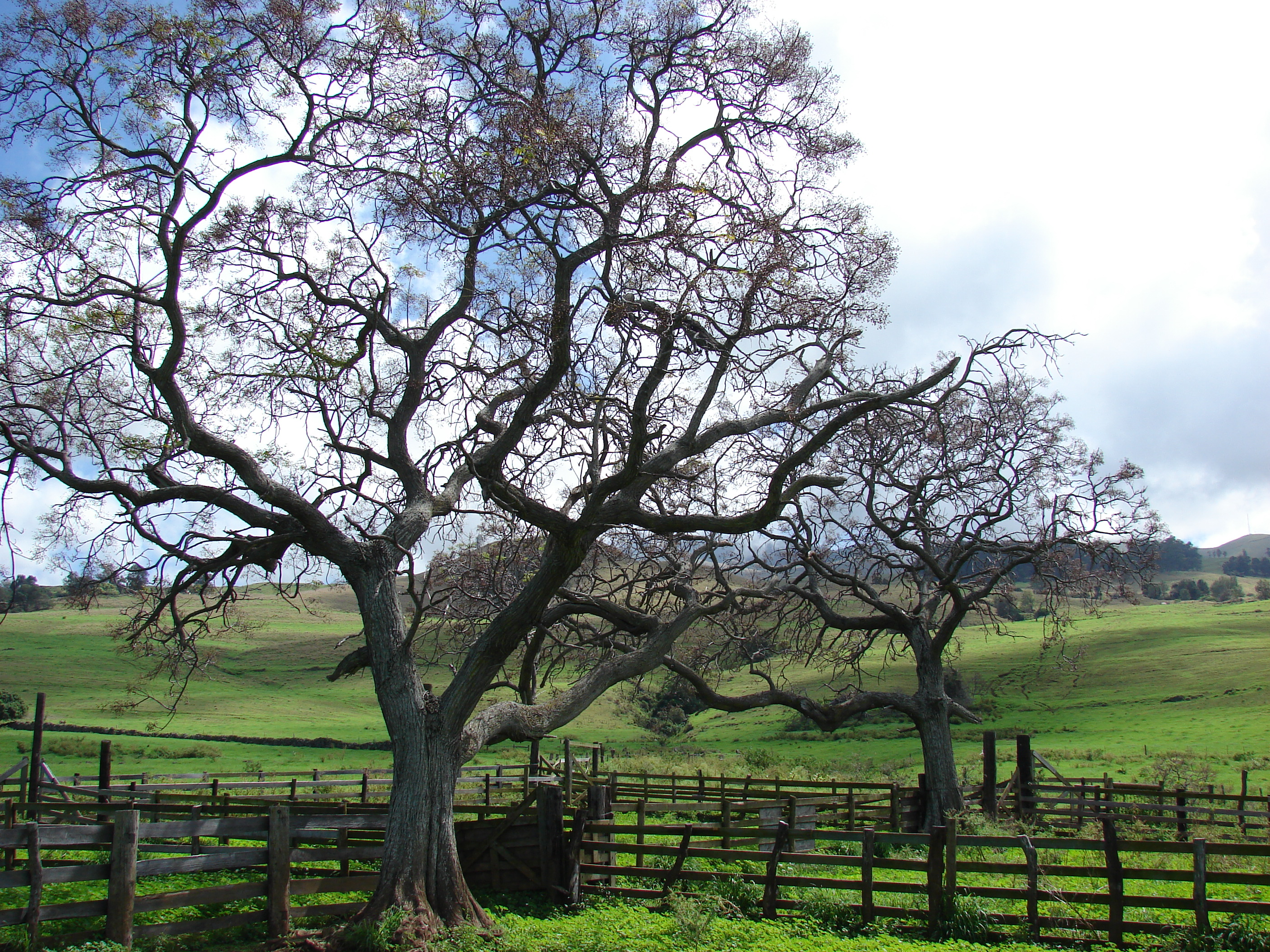 Chinaberry Poisoning In Horses