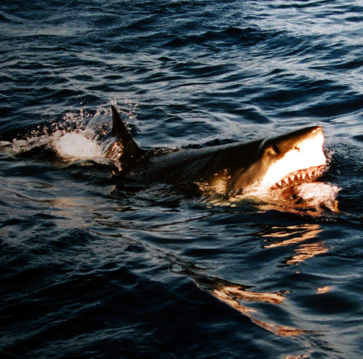 Photo of great white on surface with open jaws reveling meal.