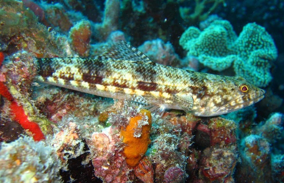 Lizardfish on the Reef By Richard Ling (Flickr) [CC-BY-SA-2.0 (https://creativecommons.org/licenses/by-sa/2.0)], via Wikimedia Commons