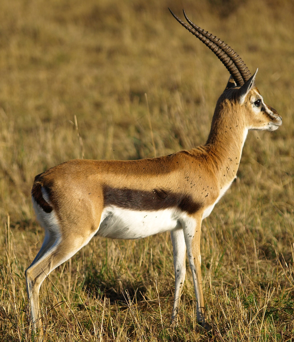 File Thomsons gazelle