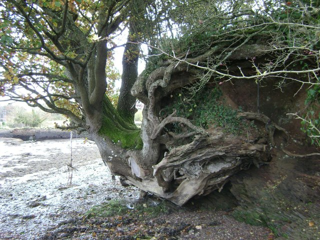 Tree%2C_eroded_bank%2C_River_Teign_-_geo