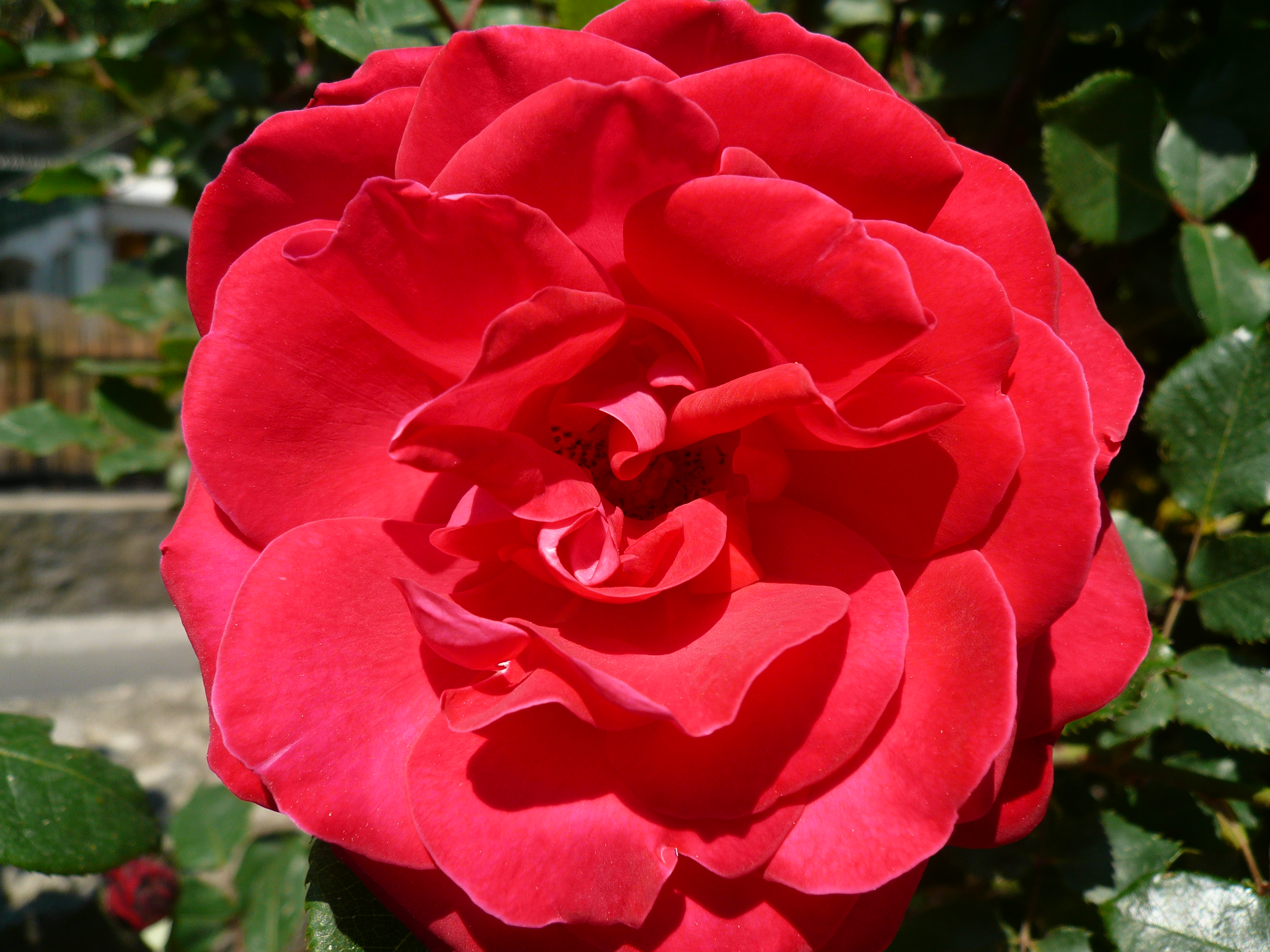 File:Viso rosa.jpg