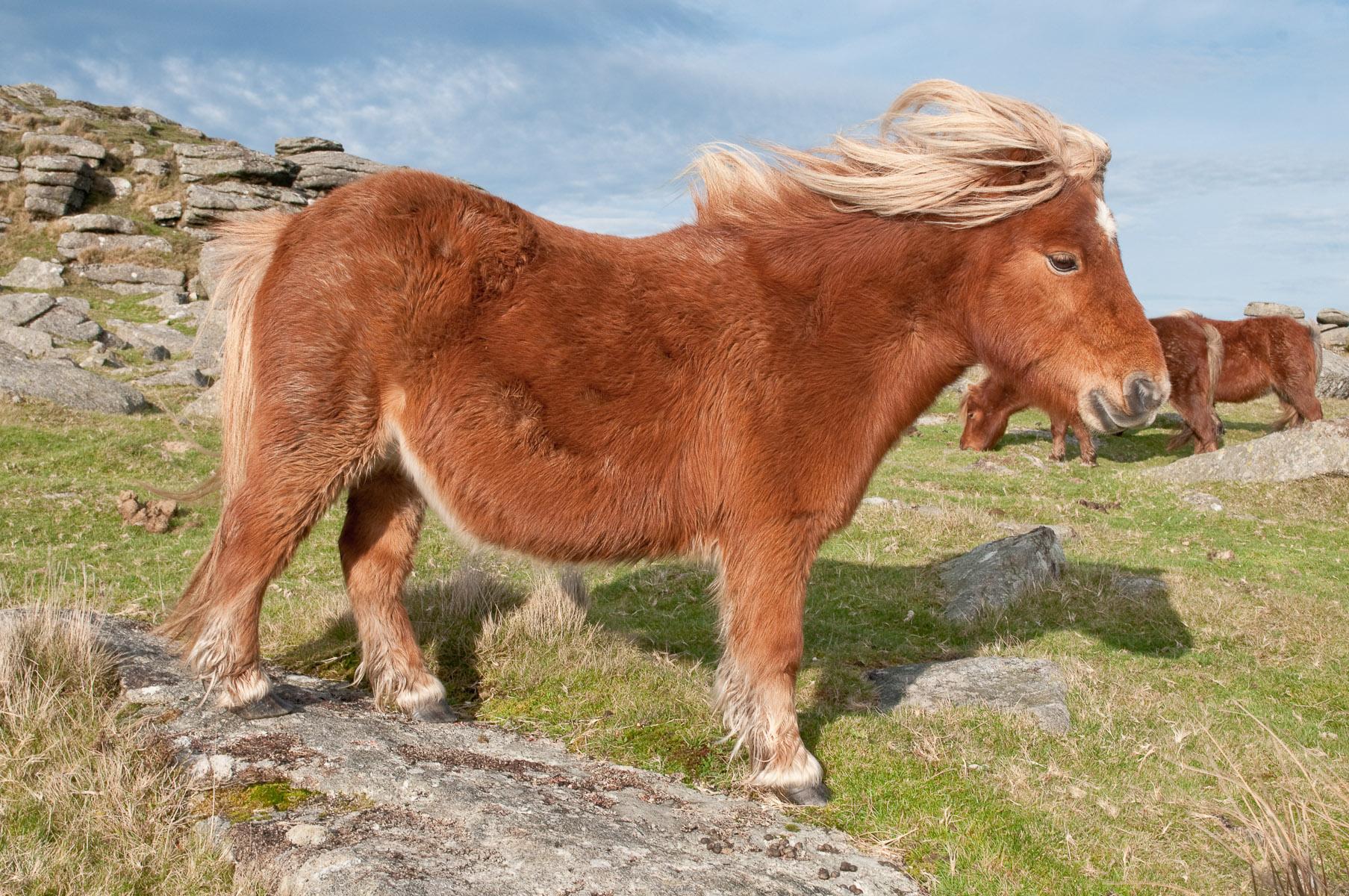 Windswept Hill Pony On Rowtor Dartmoor Mici Ponei
