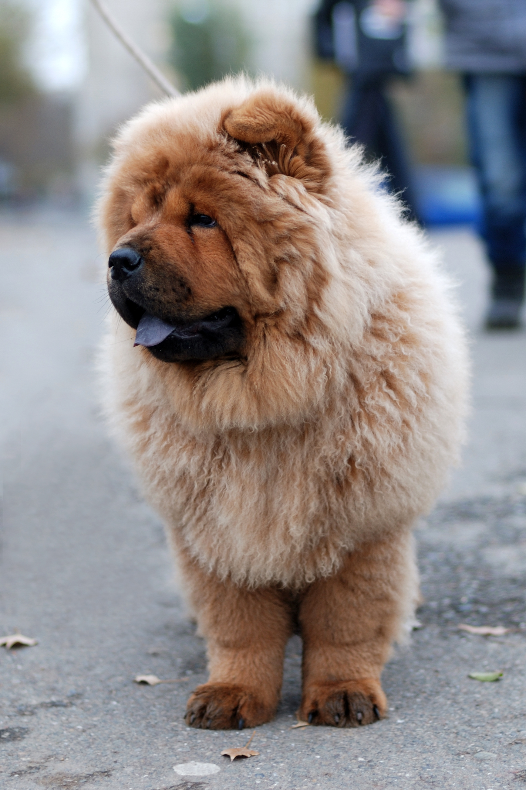 Chow Chow Dog Breeders Uk
