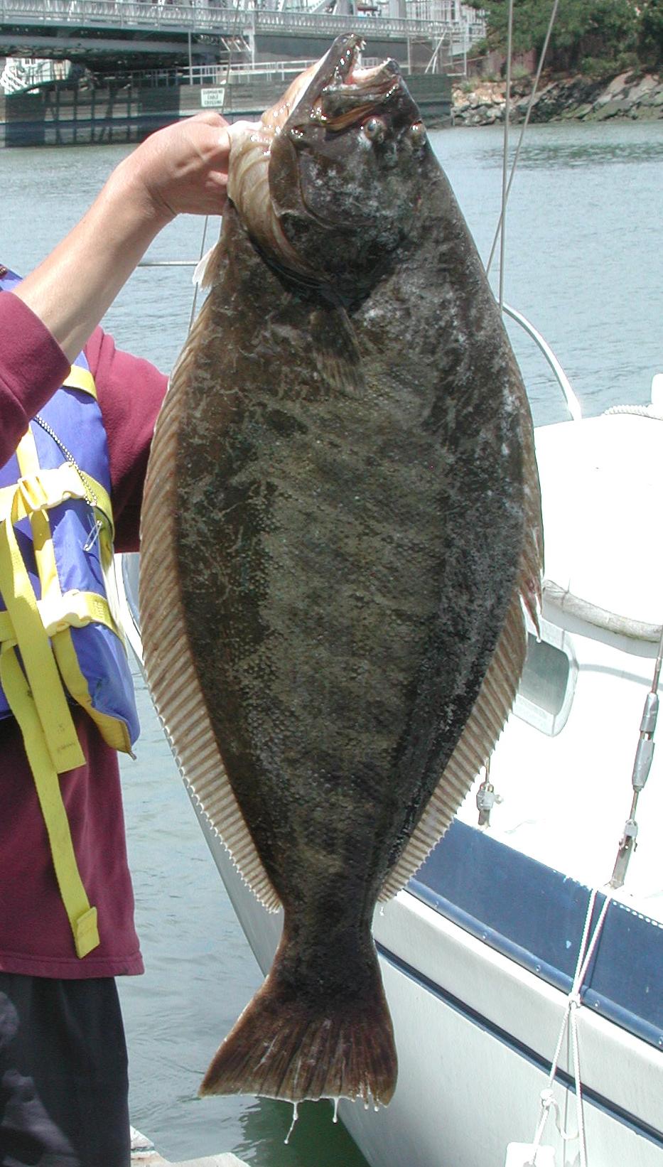 File 3 foot california for California halibut fishing