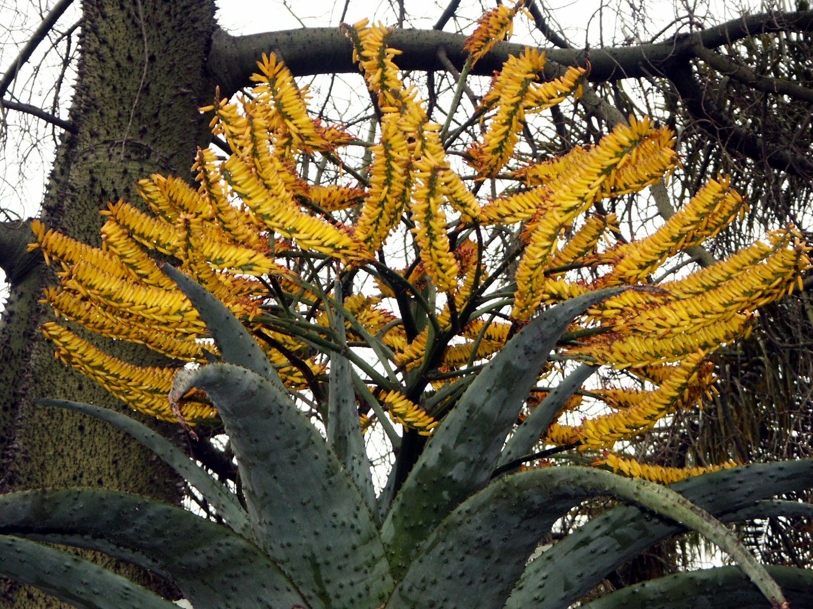 File Aloe Marlothii Huntington Desert Garden Jpg