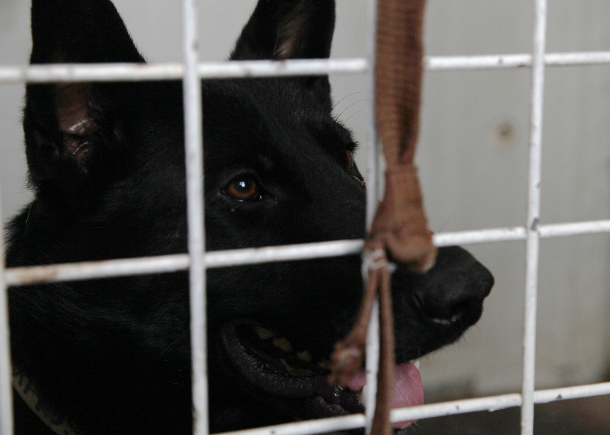 File:An Iraqi Police K-9 dog stares out of his kennel at his
