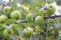 Owoce odmiany Antonówka Na drzewie