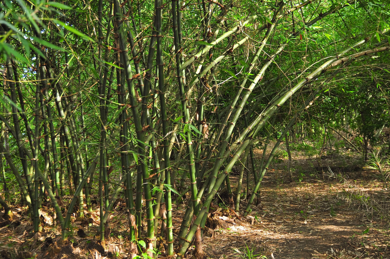 File Bamboo Garden Jpg Wikimedia Commons