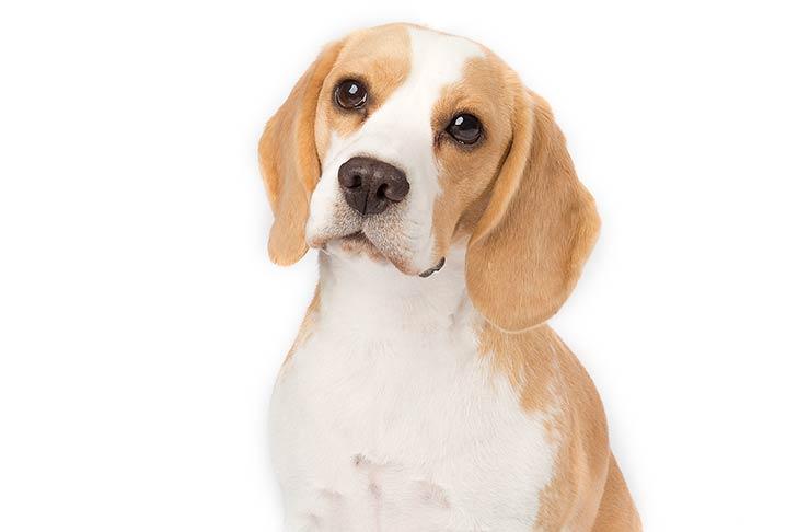 File:Beagle train image data.jpg