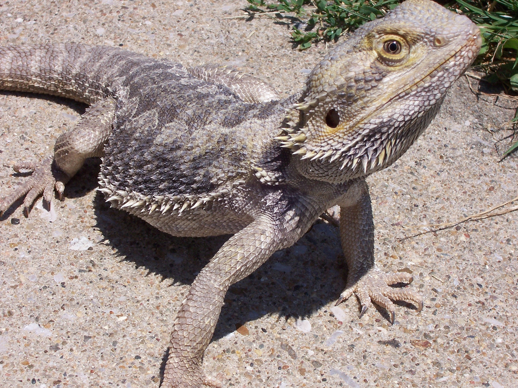 Brilliant Information About the Habitat of a Bearded Dragon