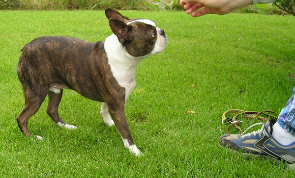 File:BostonTerrierTreat wb.jpg - Wikipedia, the free encyclopedia