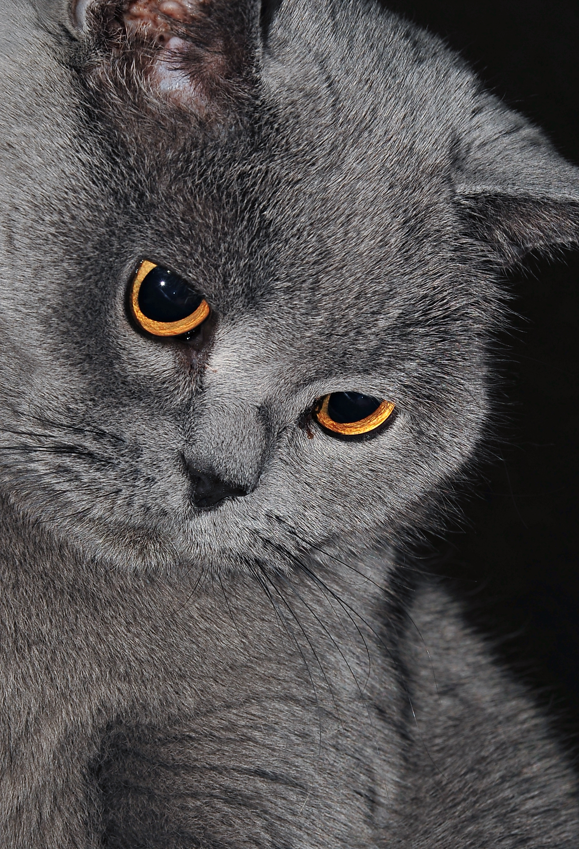 British Shorthair Kitten Colours