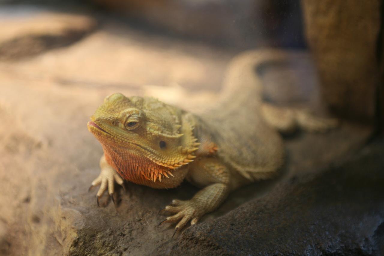 bearded lizard life span - HD1280×852