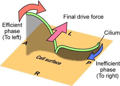 cilia flow