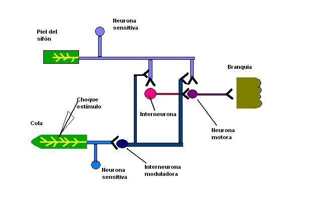 Circuito Neuronal : File circuito neural involucrado en la sensibilización g