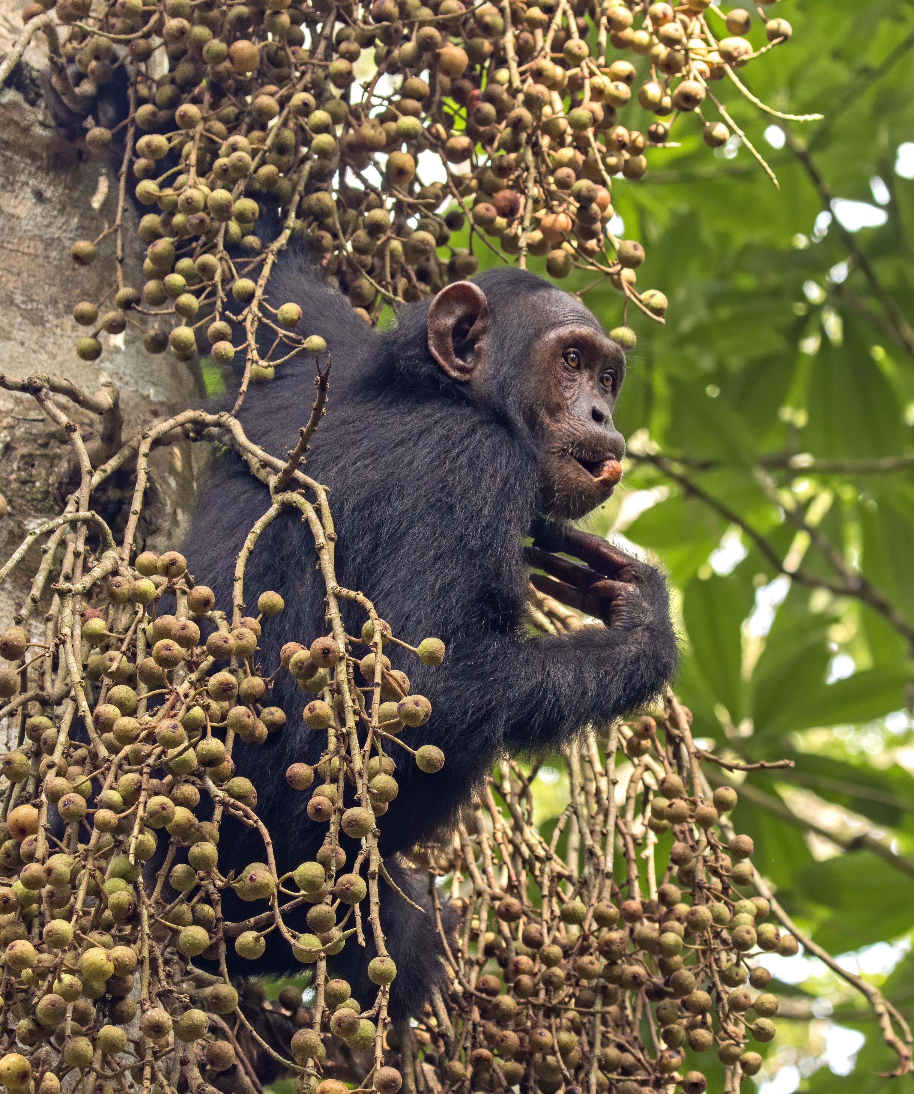 Chimpanzee - Wikipedia